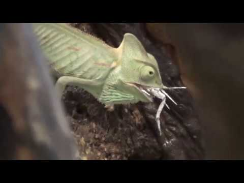 Vlog Кормление хамелеона Охота на сверчка Не для слабонервных Feeding chameleon 餵養變色龍