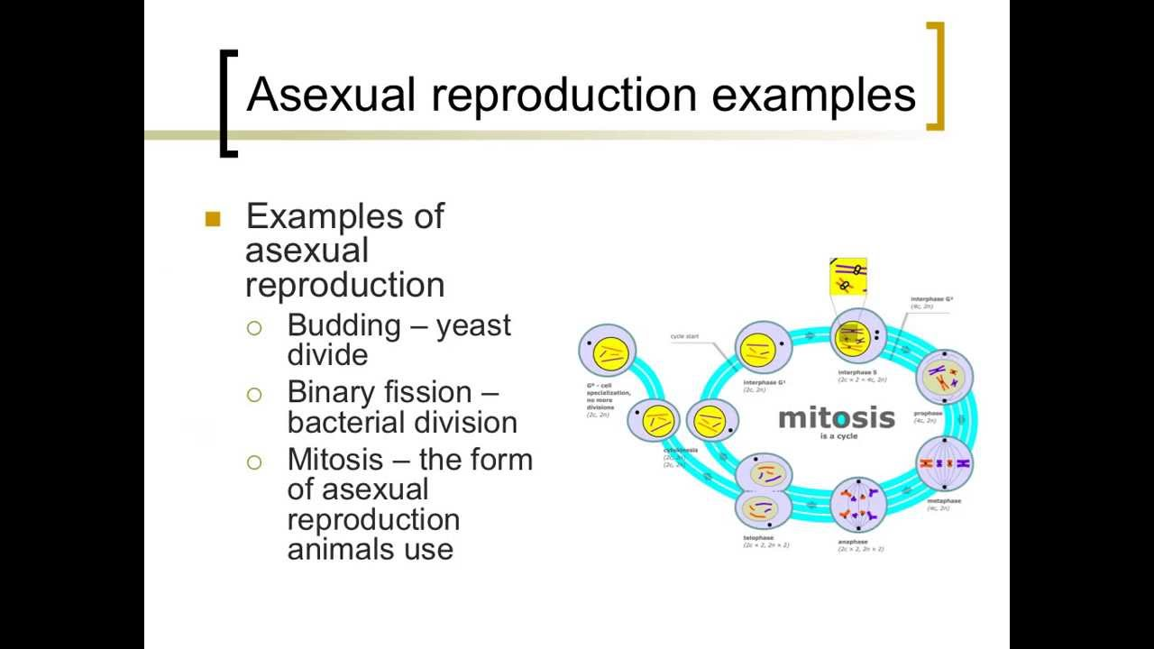 reproduction amoeba Asexual procession in