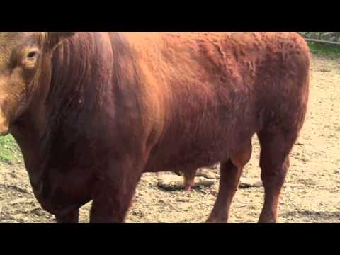 Red Simmental 88 and 97