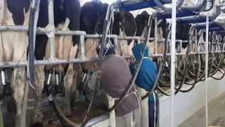 En el tambo supervisando el ordeñe de las vacas para luego hacer el dulce de leche del Rab Yabra 2
