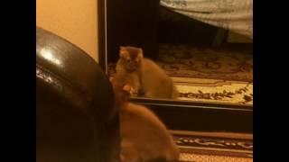 Сомалийская кошка . Опасный зверь .
