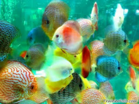 Ornamental Fish Types Youtube