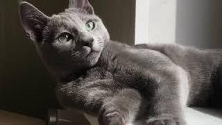 Русские Голубые котята! Русская Голубая кошка! Питомник Русских Голубых кошек Ruzara