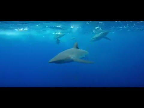 Galapagos Dive - hammer head, silky shark, galapagos shark