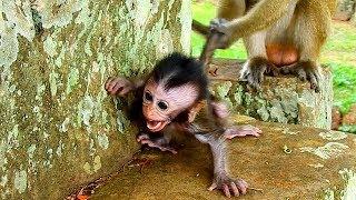 Baby monkey cry seizure terrified monkey Dee Dee, pity baby Daniela scaring Dee Dee