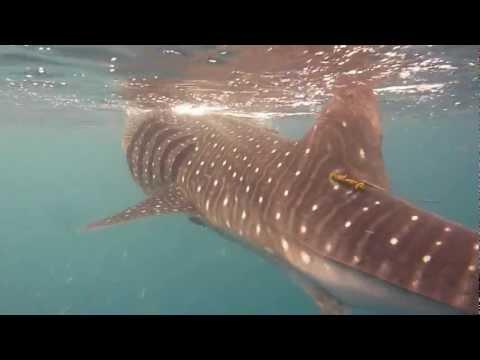 Whale Shark, Al Lith, Saudi Arabia