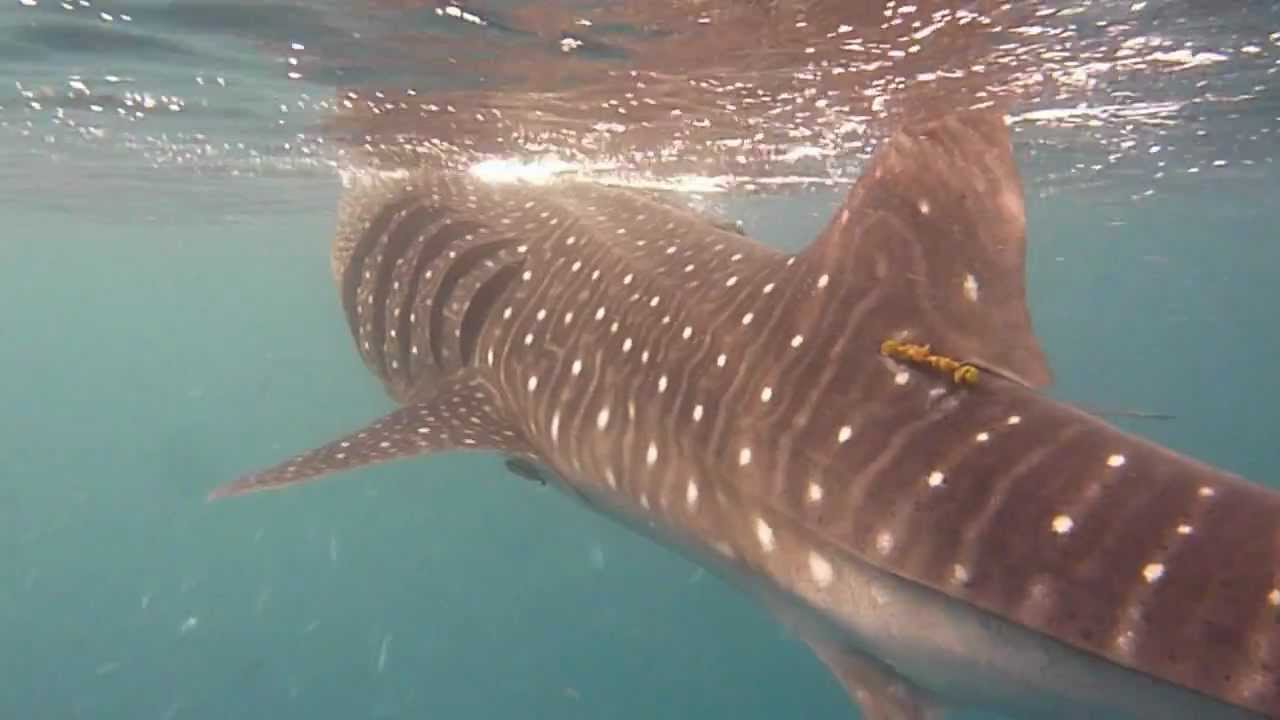 Whale Shark Al Lith Saudi Arabia Youtube