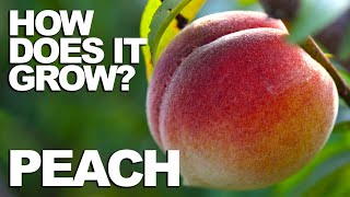 PEACH | How Does it Grow?