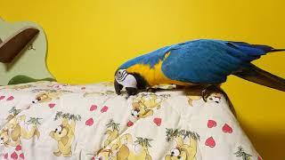 Попугай ара снимает одеяло с клетки