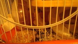 мышка и уход за ней
