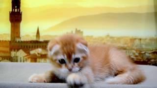 Продажа Шотландский вислоухий красный тикированный котенок