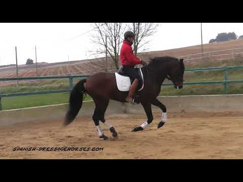 Beautiful big andalusian stallion for dressage
