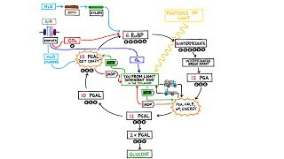 The Calvin Cycle,  Light Independent Reactions in Photosynthesis