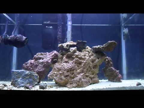 New Pygmy Cherub Angelfish