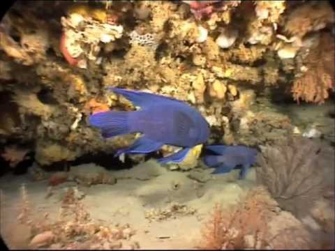 Blue Devil Fish, Adults And A Juvenile - Port Phillip Heads, Melbourne.m4v