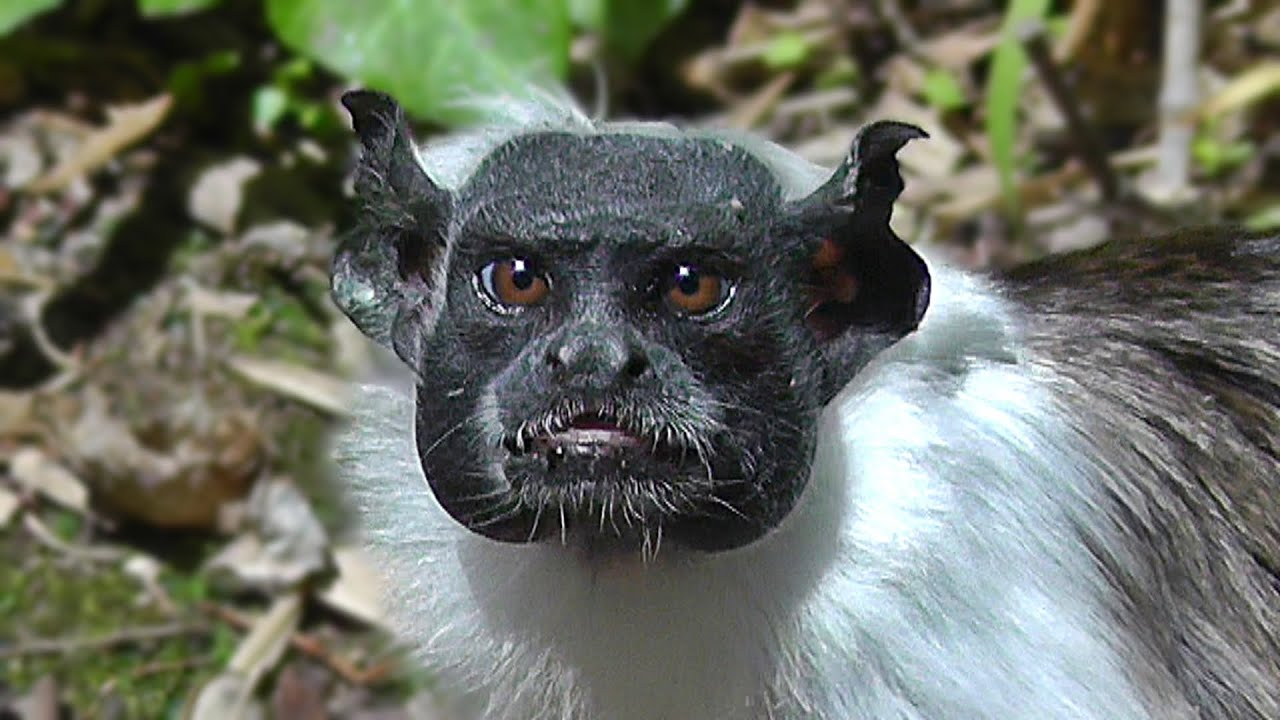 Pied Tamarin Youtube