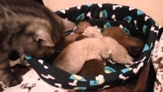 Британские шоколадные и лиловые котята, 9 дней от роду и наши взрослые кошки