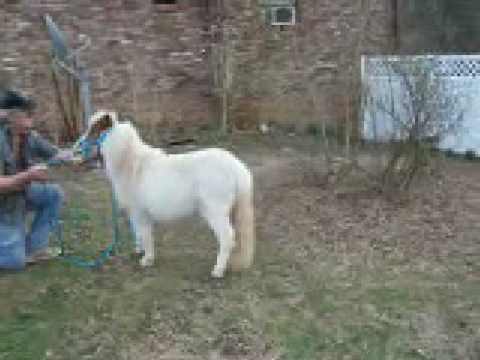 Pony Miniature Horses for sale  YouTube
