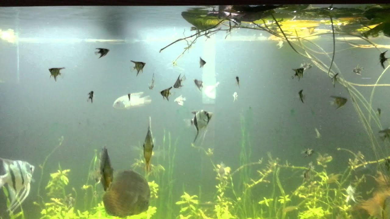 Baby Angelfish In 220 Gallon Aquarium Youtube