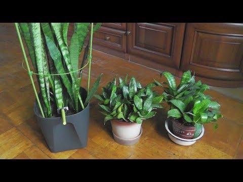 Сансевиерия - выращивание и уход, мой опыт (Щучий хвост, тещин язык)