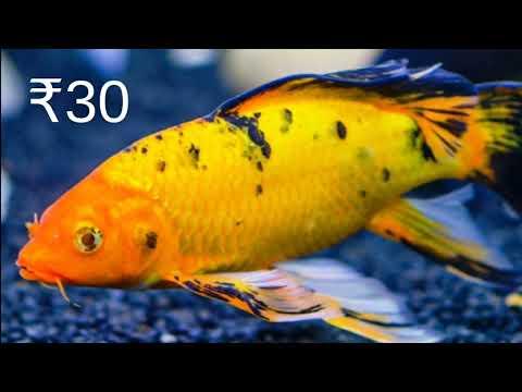 Aquarium Fish Price In India