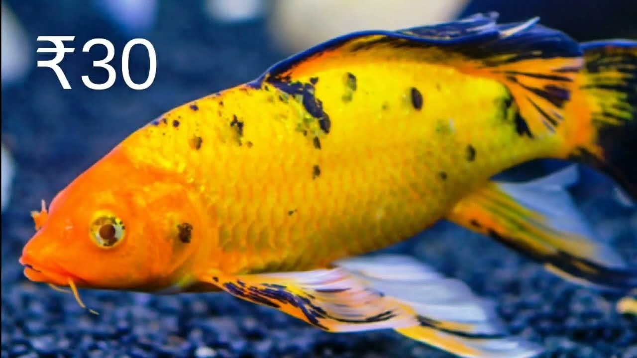 Aquarium Fish Price In India Youtube