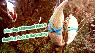 Planting Milkweed Part 4 - Banding Pods & Harvest (Help The Monarch Butterfly)