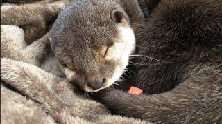 カワウソさくら 寝ているところにジャーキーを置いたら衝撃の結果が…!? Put a jerky on the otter sleeping thumbnail