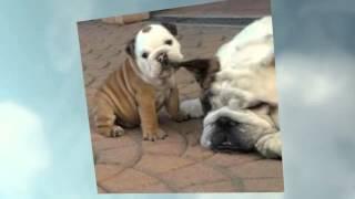 Potty Training French Bulldog