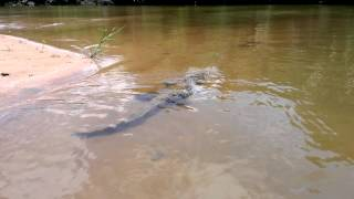 Crocodile, Monkey River Belize