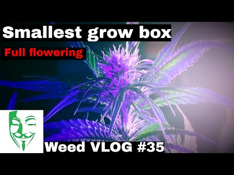 Micro grow: How to grow in a small place. Royal Cheese from seed to flowering CFL LED Weed VLOG #35