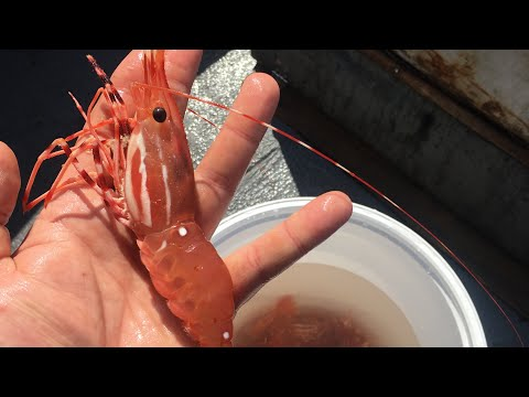 Shrimpin Ain't Easy (Washington State Spot Prawns)