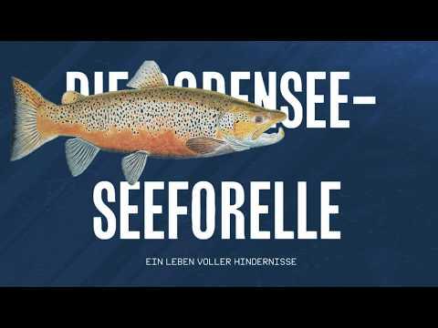 Experten sehen Bodensee Forellen gefährdet Deutschland