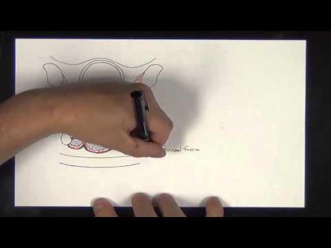 Gross Anatomy - Male & Female Pelvis, Perineum, and Genitalia. Gross and Cross-section Anatomy