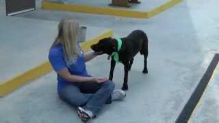 Java-male Black Labrador Retriever