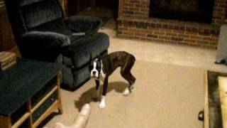 6 month old BOXER dog. TRAINED!!!!!!!