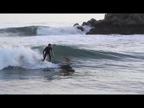 Skyler the surfing dog of Santa Cruz surfs from the harbor to little jetty !