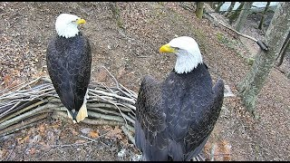 We have an EAGLET! Bald Eagle Pair in Dollywood!