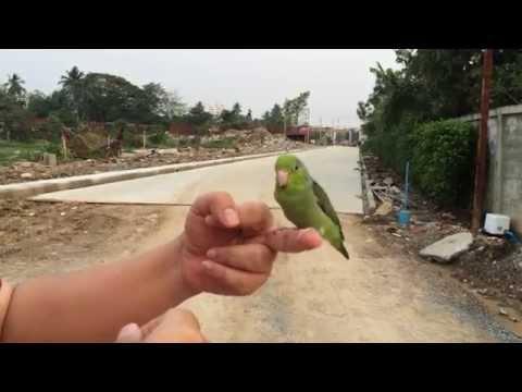 พอลลี่ นกแก้วพันธุ์เล็กแสนรู้