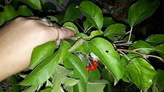 Как правильно сушить листья и я ягоды  для Шиншилл!
