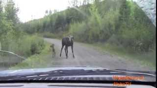 Łoś z młodymi atakuje samochód