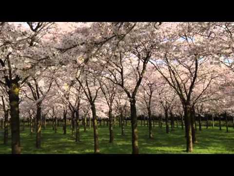Het Bloesempark in het Amsterdamse Bos staat in bloei!