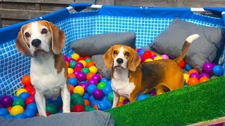 TURN YOUR POOL INTO A BALL PIT AFTER SUMMER | Beagle Universe | Funny Dogs Louie and Marie