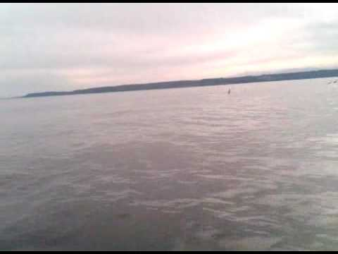 A Grey Whale in Everett Washington