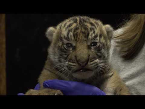 B-Roll: Sumatran Tiger Cub at the Smithsonian's National Zoo
