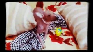 Перуанская голая малышка