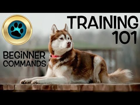 6 Basic Dog Commands YOU SHOULD KNOW! - (Siberian Husky Training)