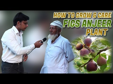 How to Grow & care Figs Anjeer Plants Jamshed Asmi Informative Channel In (Urdu/Hindi)