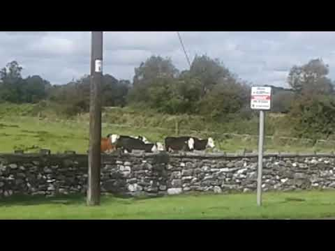 Straide, Co. Mayo - Calves
