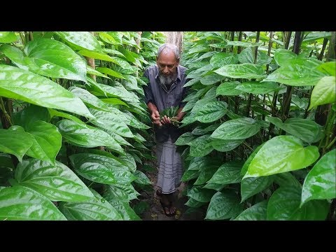 Betel Leaf Garden | How To Collect, Organize and Sell Betel Leaf | Betel Leaf Keeps The Doctor Away